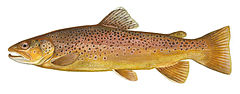 240px brown trout fws white background