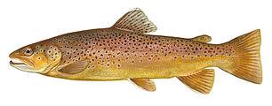 Brown trout FWS white background.jpg