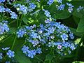 Brunnera macrophylla 01.JPG