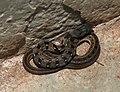 Buff-striped Keelback Amphiesma stolatum by Dr Raju Kasambe DSCN0502 (5).jpg
