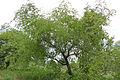 Buffalo Thorn (Ziziphus mucronata) (17391300981).jpg