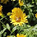 Buphthalmum salicifolium-IMG 3586.jpg