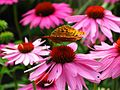Butterfly-Cone-Flowers ForestWander.jpg