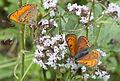 Butterfly Scarce Copper - Orman bakır güzeli - Lycaena virgaureae.jpg