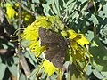 Butterfly on a Bladder Pod (13045581515).jpg