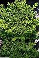 Buxus sinica var 2zz.jpg