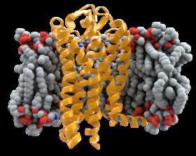 280px-CCR5%2Bmembrane1.png