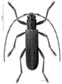 COLE Cerambycidae Oemona hirta.png
