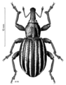 COLE Curculionidae Lyperobius hudsoni.png