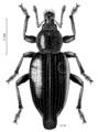 COLE Curculionidae Telurus dissimilis 1 f.png