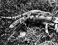 COLLECTIE TROPENMUSEUM Jonge krokodil aan rivieroever TMnr 10006472.jpg