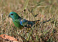 CSIRO ScienceImage 3857 Redrumped Parrot Point Cook Victoria.jpg
