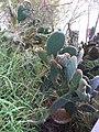 Cacti - panoramio (1).jpg
