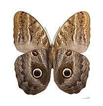 Caligo teucer semicaerulea MHNT ventre.jpg