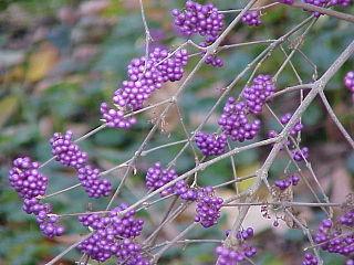 <i>Callicarpa bodinieri</i> species of plants