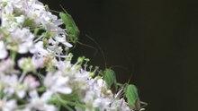 File:Calocoris affinis - Wollenberg 2011.ogv