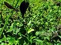 Calopteryx IMG 6369^.jpg