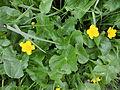Caltha palustris (02).jpg