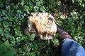 Calvatia gigantea - Altenbeken.jpg