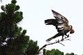Calyptorhynchus funereus -Edithvale Wetlands, Melbourne, Victoria, Australia-8.jpg