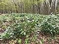 """Camellia sinensis на території заповідного урочища """"Широкий"""" (5).jpg"""
