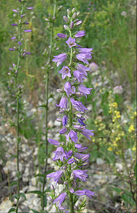 Campanula bononiensis inflorescence.jpg