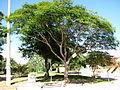 Canafístula em São Lourenço do Sul 002.JPG