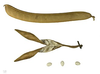 Canavalia ensiformis - Canavalia ensiformis   MHNT