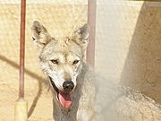 Desert dwelling grey wolf subspecies, such as this Arabian wolf, tend to be smaller than their more northern cousins.