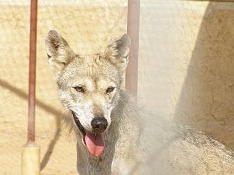 Arabian wolf - Arabian wolf female head and shoulders
