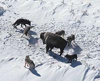Američki bizon se brani od čopora vukova