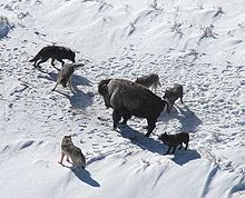 Photograph of an American bison standing its ground surrounded by six wolves in winter