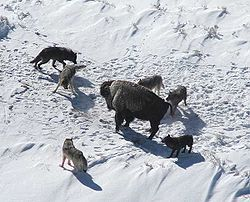 Canis lupus pack surrounding Bison.jpg