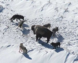 Mollies Pack Wolves Baiting a Bison