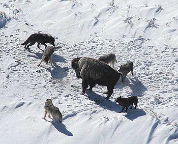 Вовки на полюванні оточили