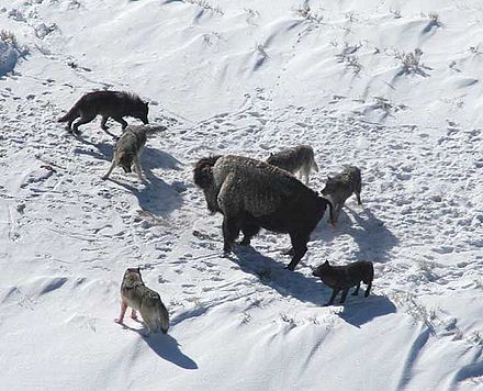 American bison standing its ground against a wolf pack. Canis lupus pack surrounding Bison.jpg