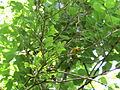 Cape May Warbler (17326856301).jpg