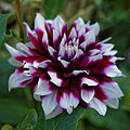 Capel Manor Gardens Enfield London England - magenta and white dahlia.jpg