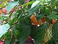 Capsicum annuum 2 - Kew.jpg