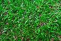 Carabao Grass.jpg