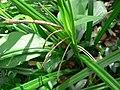 Carex pendula plant (3).jpg