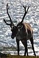 Caribou (Rangifer tarandus) - Port au Choix, Newfoundland 2019-08-19 (13).jpg