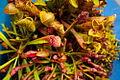 Carnivorous Plant 1 FF2009 11 06.JPG