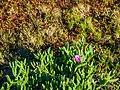 Carpobrotus glaucescens and Sesuvium portulacastrum at verge of dune and salt marsh communities Nudgee Creek Nudgee Beach Bramble Bay Queensland P1040576.jpg