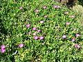 Carpobrotus glaucescens plant5 (8418451168).jpg