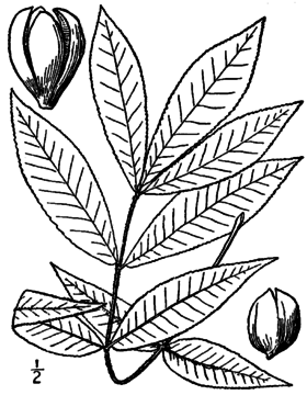 Carya texana BB-1913.png
