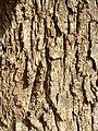 Casuarina cunninghamiana trunk bark01.jpg