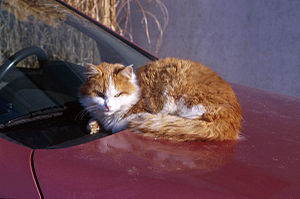 English: A cat on a car.
