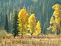 Cattails, Forests and Fall Color, Wallowa Whitman National Forest (26195909324).jpg