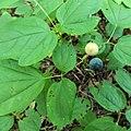 Caulophyllum giganteum SCA-03873.jpg